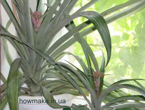 Как заставить цвести ананас в домашних условиях