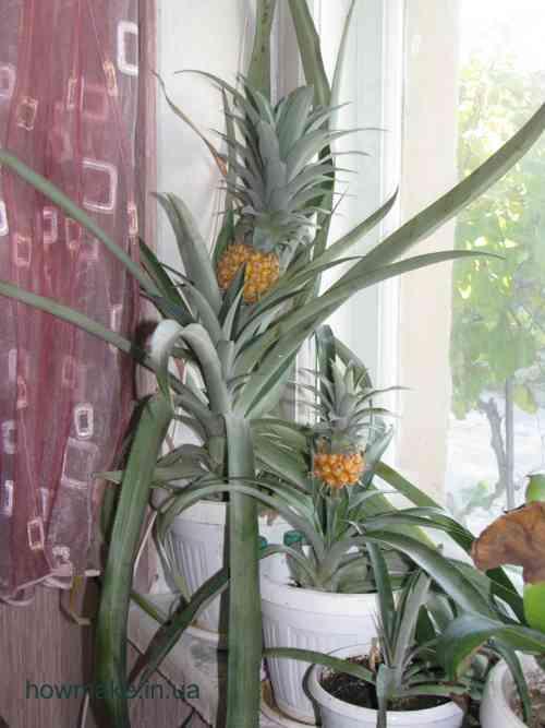Когда начинает плодоносить ананас в домашних условиях